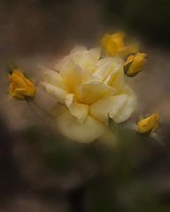 (David Gilson) Tags: roses flower texture yellow photoshop garden outdoors petals nikon soft mygearandme nikond610