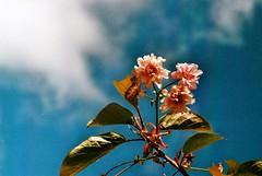 Kornige Blüte (Turikan) Tags: 3 cherry fuji blossom 8 grainy jupiter fed baum c200 kirschblüte eigener kornig