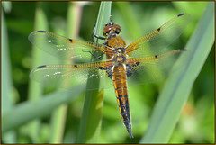 Four-spotted Chaser (image 2 of 3) (Full Moon Images) Tags: macro nature insect four dragonfly wildlife bcn reserve national trust spotted fen cambridgeshire chaser woodwalton fourspotted nnr greatfen greatfenproject
