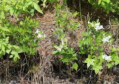 Dwarf Azalea (Rhododendron atlanticum (Ashe) Rehder) 05-28-2015 Mt. Olive Church Road, Worcester Co. MD 3 (Birder20714) Tags: plants azaleas maryland rhododendron ericaceae heaths atlanticum