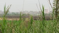 DSC08246 (Kodak Agfa) Tags: countryside farmers photos egypt farms peasants citizenjournalism niledelta sharkia governorates