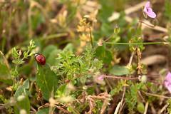 20160514_0066 (mystic_violet) Tags: vienna wien austria sterreich spring beetle meadow wiese ladybird ladybug ladybeetle kfer frhling marienkfer ladybirdbeetle coccinellidae c7 coccinellaseptempunctata siebenpunkt sevenspotladybird sevenspottedladybug nikond3300 darktable