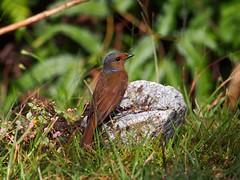 Large Niltava - Female (WilliamPeh) Tags: wild bird birds animal female pose outdoor wildlife birding large olympus explore omd em5 niltava