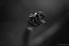 Where I go 2 (petrisalonen) Tags: blackandwhite macro finland spider tamron bnw naturephotography macrophotography kenko salticidae hmhkki canon6d luontokuvaus hyppyhmhkki suomenluonto