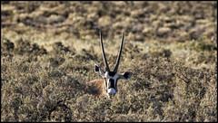 _SG_2016_05_Namibia_0001_IMG_0273 (_SG_) Tags: auto africa park trip tree car nationalpark solitude desert southern national afrika ausflug namibia baum antilope strauch oryx etosha gemsbok 2016 gazella einde etoshanationalpark etoshapark spiessbock