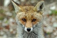Sguardi (BIO_MA Roberto Perucci) Tags: parco fauna marche volpe nazionale sibillini selvatici