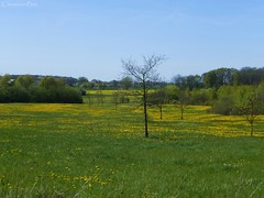 Field of Dandelions (ChristianeBue) Tags: green field yellow germany deutschland coast spring feld dandelion gelb grn lbeck tyskland schleswigholstein frhling kste lwenzahn brodten