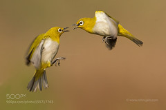 White Eye to Eye (tycampbe) Tags: india white bird eye fight flight oriental jain nitin 500px ifttt