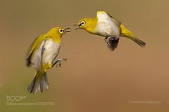 White Eye to Eye (tycampbe) Tags: india white bird eye fight flight oriental jain nitin 500px ifttt