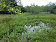 pond #3_50611 (San Marcos Greenbelt Alliance) Tags: flowercloseups ringtailridge sanmarcosgreenbeltalliance smgaphotobylancejones