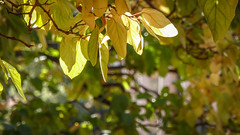 Golden Green (Theen ...) Tags: adelaide bokeh branches gold green leaves library lumix soft strong sunlight theen tree trees universityofadelaide urrbrae waitecampus winter young