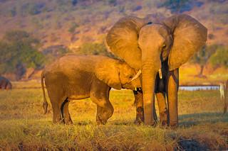 Tenderness, Chobe National Park, Botswana