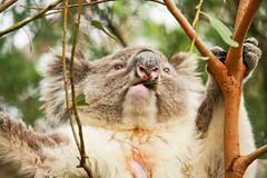 male southern koala - great otway np (2 of 3) (Daniela Parra F.) Tags: greatoceanroad greatotwaynationalpark southernkoala gum chewinggum marsupial australia australianwildlife aussiewildlife aussie animals mammal australianmammals mamifero koala wildkoala herbivore herbivory male wildlife wild wildmammals