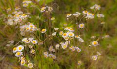 A Wildflowers Bouquet. (Ramo de silvestres). (Samuel Santiago) Tags: yellow spring wildflowers wildflower manualfocus canon40d tamron24mmf25adaptall