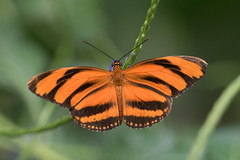 Dryadula phaetusa (fabriciodo) Tags: macro butterfly insect lepidoptera papillon borboleta d750 mariposa schmetterlinge farfalle nymphalidae dryadulaphaetusa lpidoptre sigma150