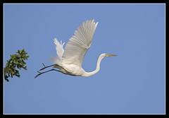 The Launch... (DTT67) Tags: bird nature canon wildlife pa nesting nationalgeographic bif egrets kiwanis greatwhiteegret 14xiii 500mmii canon1dxmkii