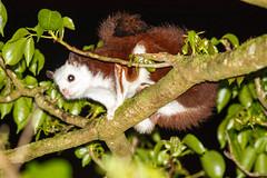 _Whited-faced Flying Squirrel_Petaurista alborufus lena (Tsai-Yu Wu) Tags: rodentia sciuridae