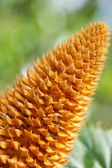 (lemank) Tags: cone cycad mountsbotanicalgardens