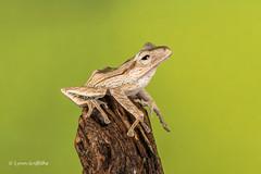 Borneo Eared Frog - Is this my best side? D75_2953.jpg (Mobile Lynn) Tags: england nature fauna unitedkingdom wildlife ngc amphibian frog npc captive bournemouth coth greatphotographers specanimal specanimalphotooftheday borneoearedfrog polypedatesotilophus coth5 fileearedtreefrog sunrays5 bonyheadedflyingfrog