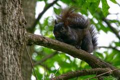 160608-05 Mr. Squirrel Trump! (clamato39) Tags: cureuilnoir squirrel cureuil blacksquirrel parcchauveau villedequbec provincedequbec qubec canada animal wild nature