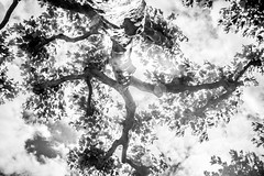 Looking up at a Tree (Infomastern) Tags: blackandwhite bw lund tree trd svartvit geolocation geocity camera:make=canon exif:make=canon geocountry exif:focallength=18mm geostate exif:lens=efs18200mmf3556is exif:aperture=10 exif:isospeed=100 camera:model=canoneos760d exif:model=canoneos760d