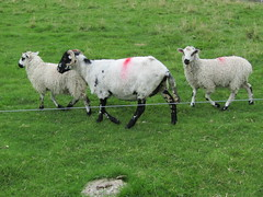Kettlewell, Cam Head & Starbotton 7.8.2016 (20) (bebopalieuday) Tags: yorkshiredales wharfedale kettlewell starbotton dalesway footpath sheep ewe lambs northyorkshire