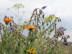 ckuchem-3087 (christine_kuchem) Tags: ackerrand bienenfreund bienenweide blumen blhstreifen feld felder klee landwirtschaft schmetterlingsbltler vogelschutz wiesenblume