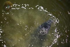 The gas passer (Glotzsee) Tags: nature florida indianrivercounty manatee outdoors mammal wildlife indianriverlagoon glotzsee glotzseefloridaimages gas fart