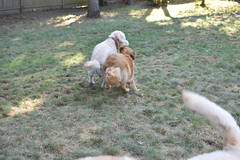 DSC_0302 (ghoulia) Tags: goldendoodle goldenretriever poodle labradoodle labrador rovercom dogvacay