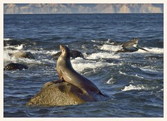 Sea Lion and Pelican (gauchocat) Tags: bahiadelosangeles bajacalifornia seaofcortez