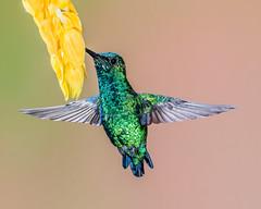 Western Emerald Hummingbird (Andy Morffew) Tags: westernemerald hummingbird hovering inflight feeding tandayapabirdlodge ecuador andymorffew morffew eiap naturethroughthelens