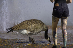 Thirsty (swong95765) Tags: goose bird animal woman tattoo legs water wet fountain drink cute tattoos shorts