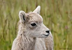 A little cutie  8676 (Bonnieg2010) Tags: bighornsheep sheep kananaskisprovincialpark kananaskis wild nature animal youngbighornsheep cute bonniegrzesiak