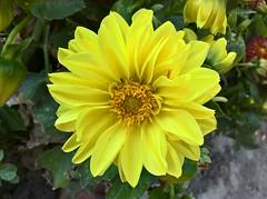 WP_20160901_17_07_15_Pro (vale 83) Tags: flower microsoft lumia 550 wpphoto wearejuxt thebestyellow colourartaward