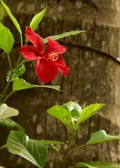 Shoe flower (Gane) Tags: flowershoeflowerjaffna sembaruthi