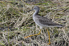 Greater Yellowlegs (Natimages) Tags: greateryellowleg yellowlegs shorebird waterbird longlegs shoreline seagrass pentaxk3 da3004