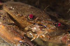 DSC_6786 (bajo_el_mar) Tags: 2016 asturias cantbrico lastres liocarcinuspuber underwater andarica crustceo fotosub