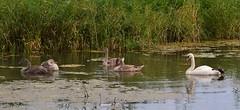 Familie Zwaan (henkmulder887) Tags: zwanen zwaan knobbelzwaan swan wapserveenseaa frederiksoord vledder drenthe zwdrenthe holland thenetherlands landschap landscape natuur natur natura nature