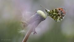 Orange Tip Butterfly (Anthocharis cardamines, oranjetipje), male (Rob Blanken) Tags: male oranjetipje anthochariscardamines orangetipbutterfly witjes dagvlinder sigma180mm128apomacrodghsm nikond750