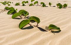 brazil leaves leaf sand br kitlens samsung backlit laguna santacatarina backlighting samsunggx10 schneiderdxenon1855mm
