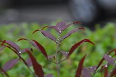 Leaf of Heavenly bamboo; nanten (Nandina domestica) (kyoshiok) Tags: japan garden kyoto nandinadomestica heavenlybamboo nanten jeaf