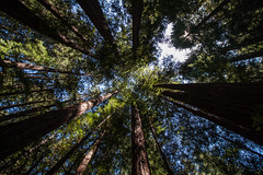 Muir Woods National Monument (camecasius) Tags: trees tree muirwoods sequoia mammut