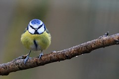 Blue Tit (Les 24293998) Tags: blue rain scotland tit
