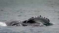 Humpback Whale (kuhnmi) Tags: sea nature animal animals tiere russia wildlife natur whale humpback fin humpbackwhale wal tier flosse kamchatka russland       tierwelt buckelwal