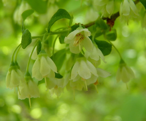 Dangleberry flowers