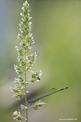 Ischnura elegans (fabrizio daminelli ) Tags: macro nature canon dragonflies dragonfly natura tamron damselfly odonata zygoptera coenagrionidae bluetaileddamselfly ischnuraelegans damigella commonbluetail vanderlinden1820 fabriziodaminelli