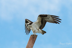 Male Osprey landing sequence - 12 of 13