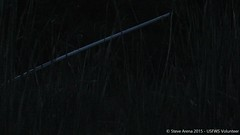 A Sora (Porzana carolina) two note calls at 0445 (Steve Arena) Tags: bird birds video nikon call notes great meadows rail d750 volunteer concord calling survey sora usfws nwr porzana porzanacarolina marshbird videograph gmnwr greatmeadowsnwr concordimpoundments marshbirdsurvey marshbirding videographed