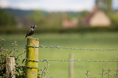 29.5.15 - Fence and Perch (Pittypomm) Tags: bird fence starling