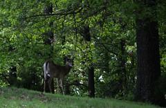Dogwood Canyon Nature Park (Adventurer Dustin Holmes) Tags: animal animals midwest deer arkansas ozarks animalia mammalia whitetail whitetaileddeer odocoileus odocoileusvirginianus northamerican 2015 whitetaildeer cervidae chordata artiodactyla capreolinae